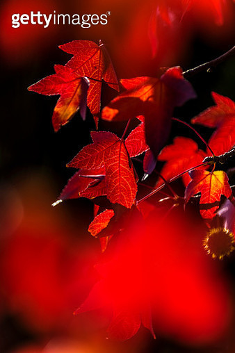 through the autumn leaves - gettyimageskorea