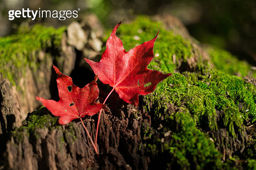 Close-Up Of Maple Leaves On Plant - gettyimageskorea
