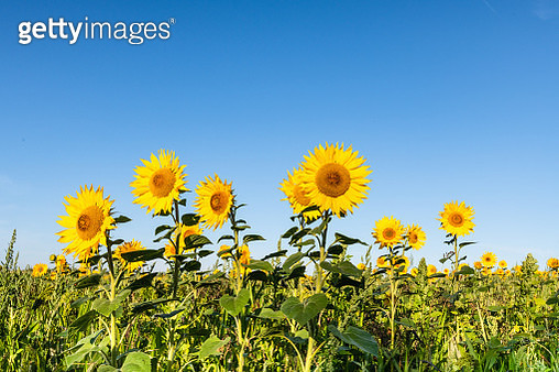 Sunflower (Helianthus subsp.) as part of wild flower mix sown for bird conservation. Flowers against summer sky, Norfolk UK - gettyimageskorea
