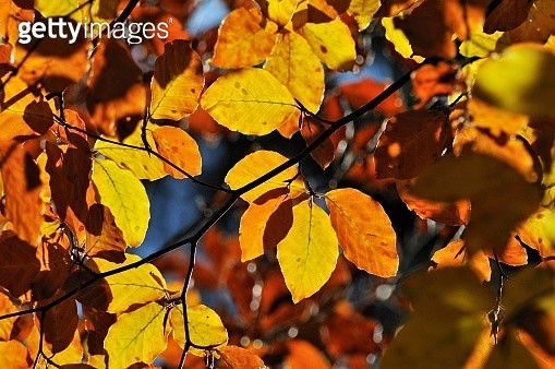 Autumn leavesan Beech or Common Beech (Fagus sylvatica) - gettyimageskorea