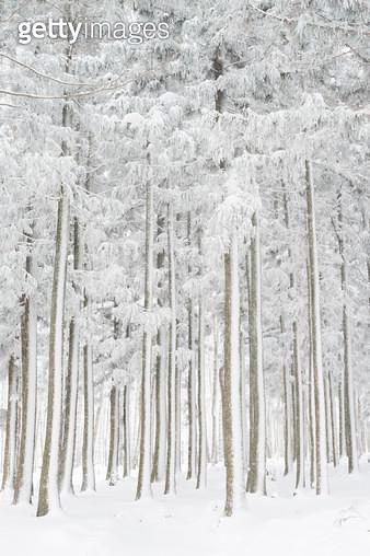 제주 절물자연휴양림의 겨울 - gettyimageskorea
