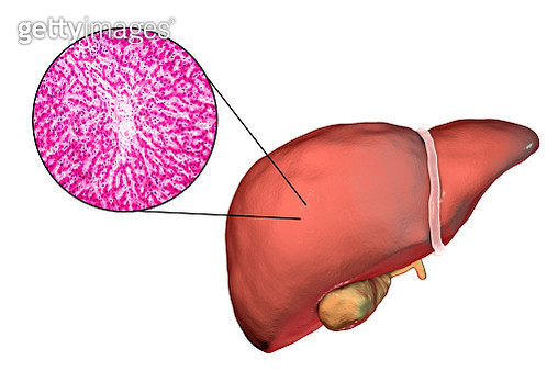 Healthy liver, illustration and micrograph - gettyimageskorea