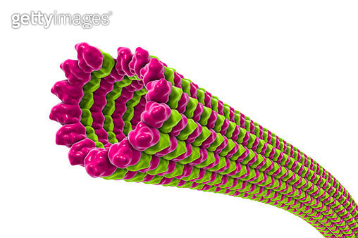 Microtubules, illustration - gettyimageskorea