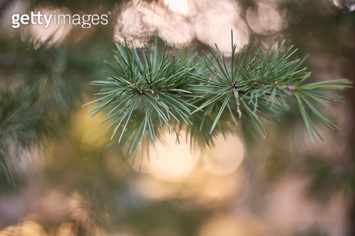 Leafs in soft evening light - gettyimageskorea