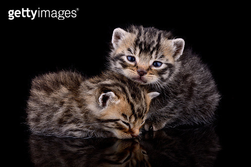 Two tabby kittens, Felis Silvestris Catus, in front of black background - gettyimageskorea