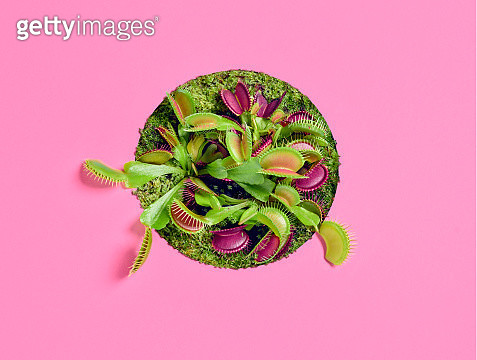 A Venus Flytrap showing from a circle over a pink background - gettyimageskorea