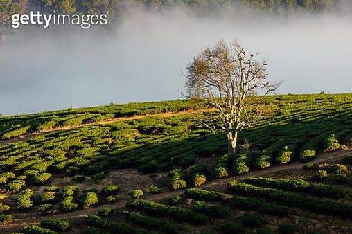Alone tree in tea plantation - gettyimageskorea