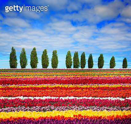 View field of t colourful tulips. - gettyimageskorea