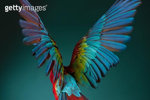 Rear view of a Scarlet Macaw parrot spreading it's wings. - gettyimageskorea