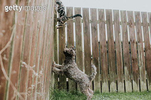 Dog barking at a Cat, cambering up a Garden Fence - gettyimageskorea