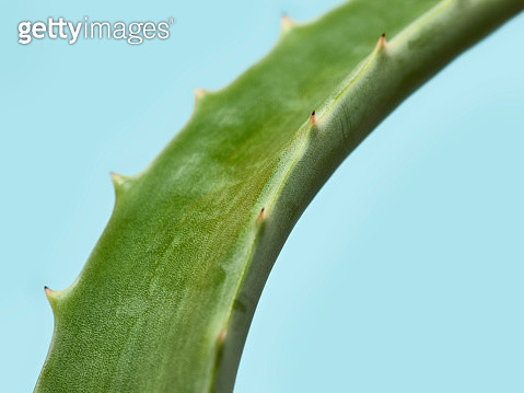 Aloe Vera leaf over a light blue background - gettyimageskorea