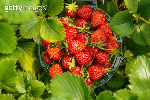 딸기농장의 딸기 - gettyimageskorea