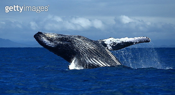 Jumping humpback whale - gettyimageskorea