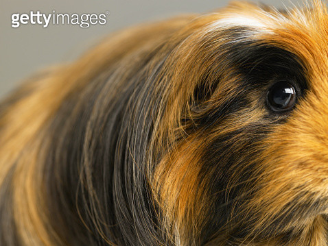 Long haired ginger, black and white guinea pig, close-up - gettyimageskorea