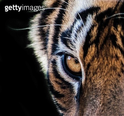 Extreme Close-Up Of Tiger - gettyimageskorea