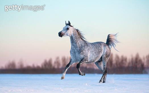 Grey Arabian stallion on snowfield at sunset - gettyimageskorea