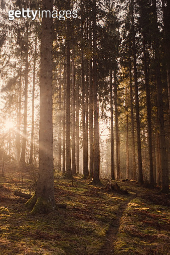 Woods forest with sunshine sunbeam fog and beautiful ray of light - gettyimageskorea