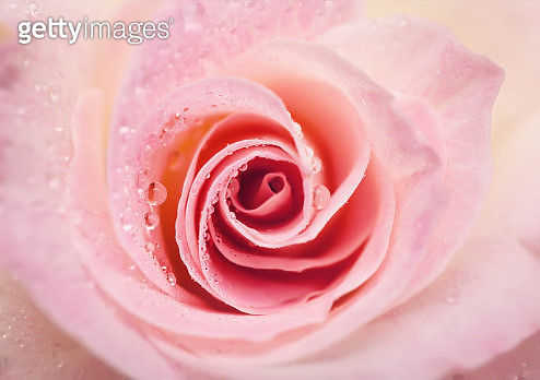 Close up of a pale pink rose with water drops - gettyimageskorea