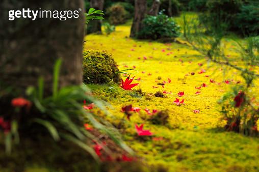 일본 교토 가을 단풍 이끼 정원 - gettyimageskorea