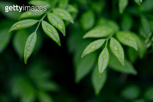 Close-Up Of Fresh Green Leaves - gettyimageskorea