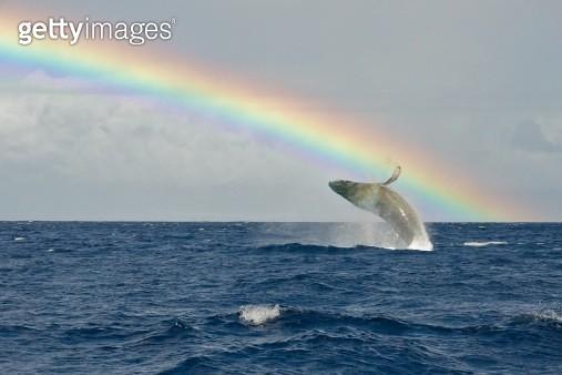 A Humpback whale breaches under a rainbow in Maui, Hawaii. - gettyimageskorea