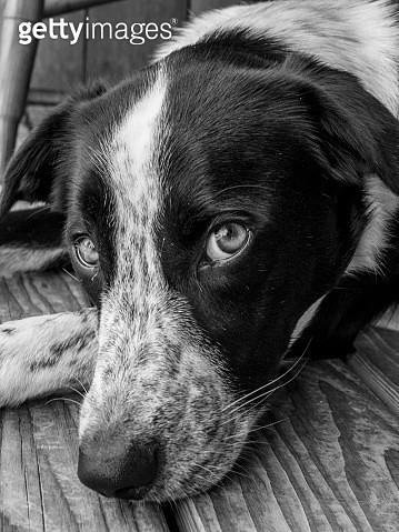 Border Collie Portrait - Black and White - gettyimageskorea