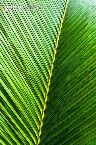 Close-up of tropical palm tree leaf, Mauritius Island - gettyimageskorea