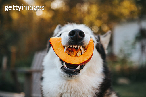 Dog Siberian Husky eating a pumpkin - gettyimageskorea