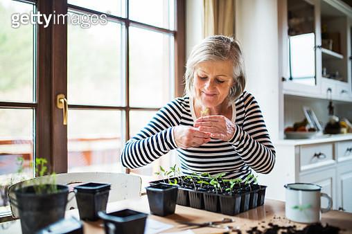A senior woman planting seedlings at home. - gettyimageskorea
