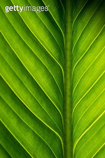 Close up macro shot of a back-lit tropical ginger leaf. Image shows great detail of the veins present in the leaf. Strong contrast light accent textures. - gettyimageskorea