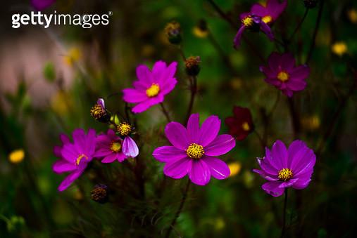 Cosmos flowers - gettyimageskorea