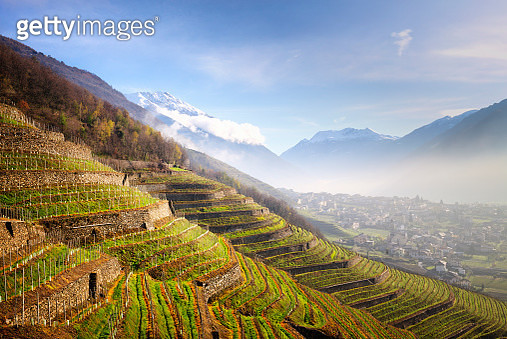 Sunlight in the wineyards at spring. Bianzone,  Valtellina, Lombardy, Italy, Europe. - gettyimageskorea