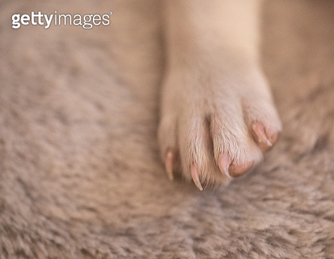 A paw of a 9 week old canine - gettyimageskorea