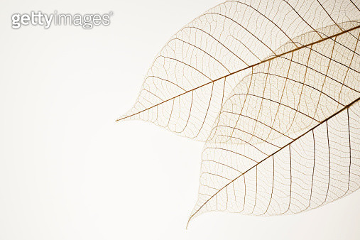 Two leaf veins isolated on white background with copy space. - gettyimageskorea