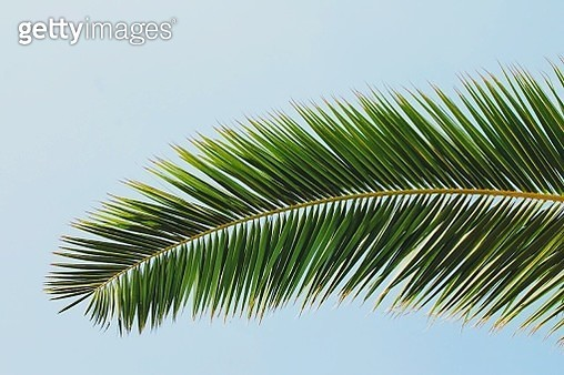 Low Angle View Of Palm Trees Against Clear Sky - gettyimageskorea