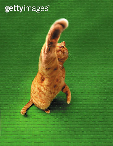 Ginger cat stretching out paw - gettyimageskorea
