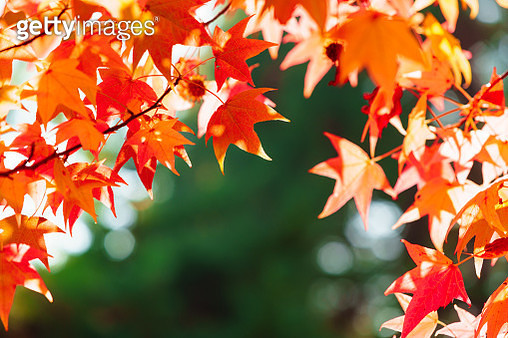 Close-Up Of Maple Leaves - gettyimageskorea