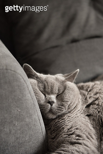 British Short hair cat sleeping on couch with squashed face - gettyimageskorea