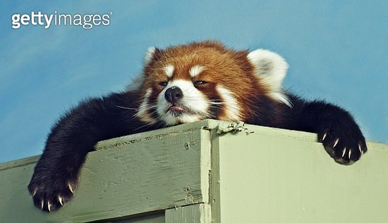 Red Panda ready for a nap - gettyimageskorea