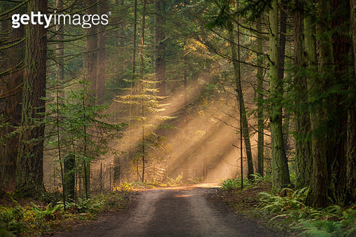 Light rays streaming through the fog illuminates the fir and cedar trees on a country dirt road. - gettyimageskorea