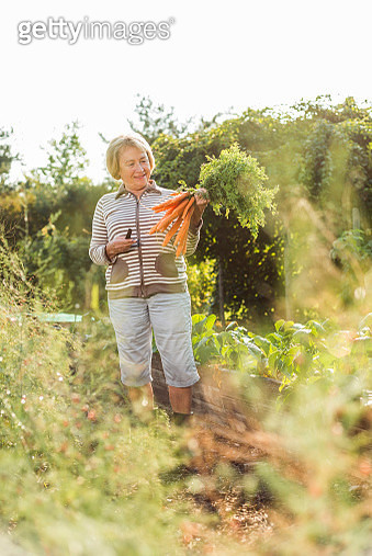 Senior woman harvesting carrots from vegetable patch - gettyimageskorea