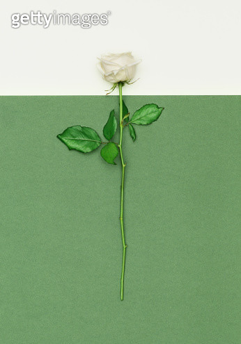 A white rose potographed from a top angle against a white/green background - gettyimageskorea