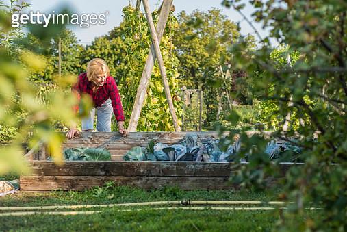 Senior woman gardening in vegetable patch - gettyimageskorea