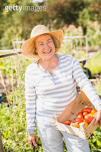 Smiling senior woman in garden holding crate with variety of tomatoes - gettyimageskorea