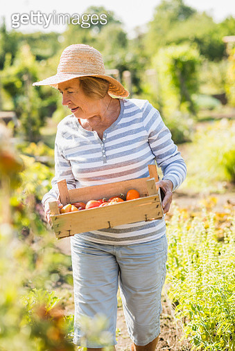 Senior woman in garden holding crate with variety of tomatoes - gettyimageskorea