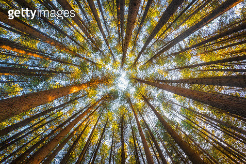 Pine forest on ant view - gettyimageskorea