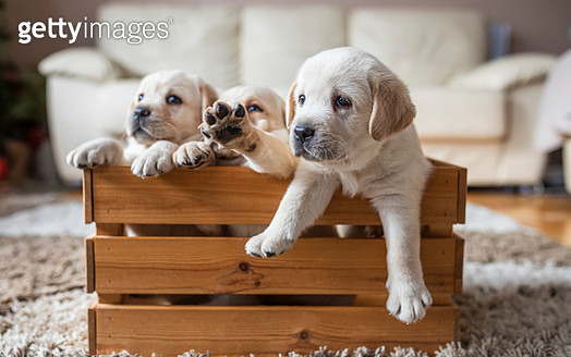 Puppies at wooden box - gettyimageskorea