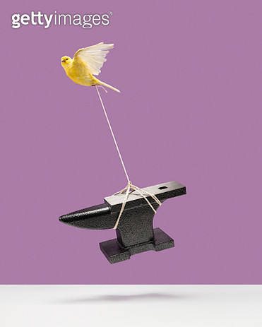 Canary carrying an anvil - gettyimageskorea