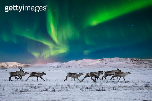 Wild reindeer on the tundra on the background of the Northern Lights - gettyimageskorea