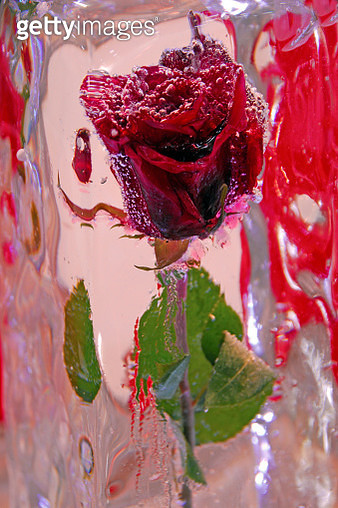 Happy Valentine's Day with Red Rose in ice. - gettyimageskorea